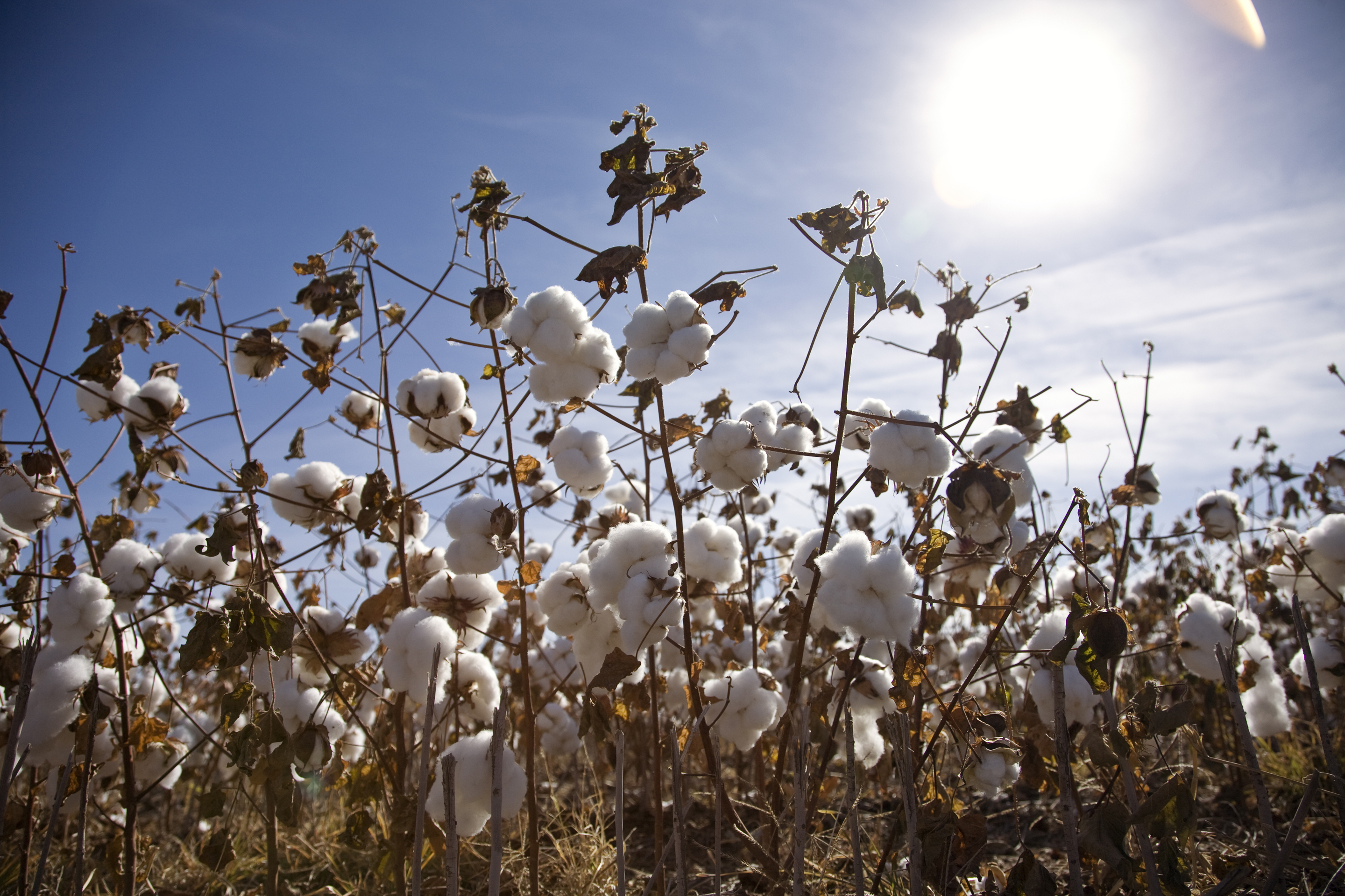 cotton_field2_1295593200